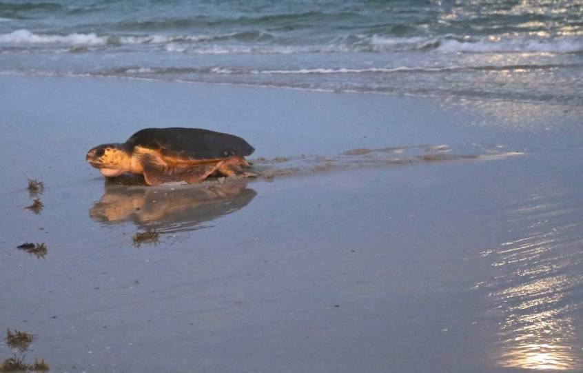 A sea turtle crawling onto the beach after emerging from the Gulf of Mexico