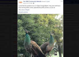 OBA social post about peahens in Orange Beach