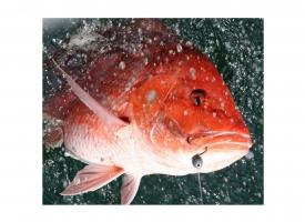 Alabama Opens for Red Snapper Fishing on May 28