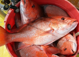 Red snapper in red bucket