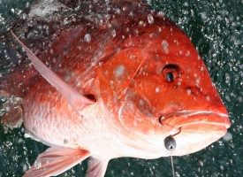 Red snapper season in Alabama